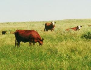 Cattle grazing on state lease