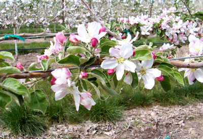 Apple blossoms on Monson lease of state trust lands. Photo DNR Mark Grassel