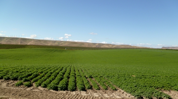 Rows of potatoes are seen in front of orchard leases on state trust lands.