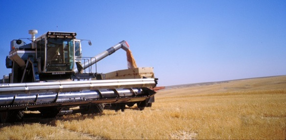 Wheat harvest on a DNR-managed lease