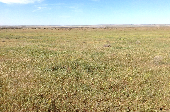 Rangeland invaded by annual grasses.